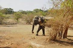 azjatykciego elephas maximus s?onia Zdjęcie Royalty Free