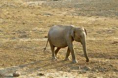 azjatykciego elephas maximus s?onia Obrazy Stock
