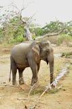 azjatykciego elephas maximus s?onia Zdjęcia Stock