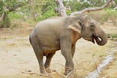 azjatykciego elephas maximus s?onia Fotografia Royalty Free