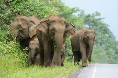 azjatykciego elephas maximus słonia Zdjęcie Stock