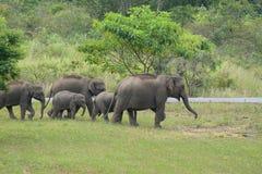 azjatykciego elephas maximus słonia Fotografia Royalty Free