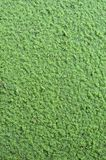Azolla  background. Leaf background - azolla  in the park Stock Photography