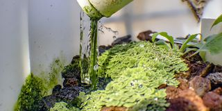 Azolla growing on lava rocks through Aquaponics royalty free stock image