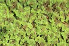 Azolla paprociowa roślina unosi się na wody powierzchni, zieleni i czerwieni liścia tle, Obrazy Stock