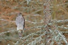 Azor en los pájaros del bosque del azor de la presa que se sientan en la rama en bosque caido del alerce durante otoño Animal de  Foto de archivo libre de regalías