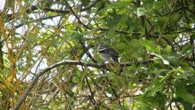 Azorean奇妙地方性鸟 库存照片