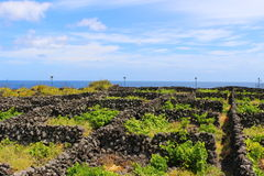 Azorean vineyard plots. A vineyard on the Portuguese island of Terceira. The volcanic stones shelter the vines from the winds and trap some heat from the sun to Stock Image