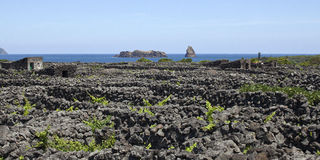 Azoren, παλαιός αμπελώνας στο νησί Pico Στοκ Φωτογραφία