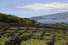 Azoren vingårdar på ön Pico Arkivfoto