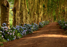 Azores. Path with tree on two side in azores royalty free stock photos