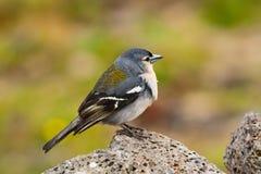 The Azores Bullfinch (Pyrrhula murina) in profile Royalty Free Stock Photo