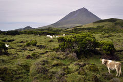 Azores cows on pasture. Under the Pico volcano Stock Photos