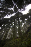 Azores: Green forest Royalty Free Stock Photography