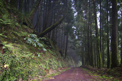 Azores: Green forest Stock Images