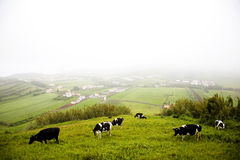 Azores Island - Portugal. Lots of cows in the hills of Azores' island in Portugal Stock Photo