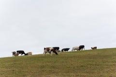Azores krowa Zdjęcia Royalty Free