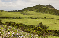 Azores landscape with green meadows and hydrangeas in Faial isla Royalty Free Stock Image