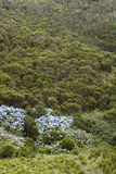 Azores landscape with heather and hydrangeas in Terceira. Portug Stock Images