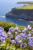 Azores landscape with hydrangeas and coastline in Sao Miguel isl Royalty Free Stock Image