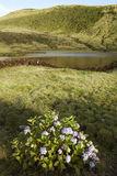 Azores landscape with hydrangeas and lake in Pico island, Portug Stock Photo