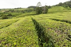Azores tea plantation. A beautiful tea plantation on the island of Sao Miguel in the Azores royalty free stock photo