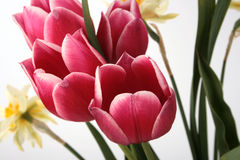 Azores and tulips flowers. Tulips and azores flowers in spring Stock Image