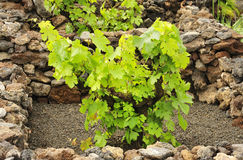 Azores vine detail royalty free stock images