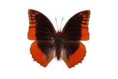 Azota negro y azul del protoclea de Charaxes de la mariposa Fotografía de archivo libre de regalías