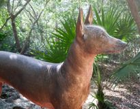 Aztec hairless dog Xoloitzcuintli from Mexico. Jungle Stock Photo
