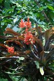Aztec`s `Gift of the Gods` - Coral red blooming bromelia in botanical garden stock photo