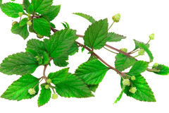 Aztec Sweet Herb. A sugar substitute royalty free stock photography