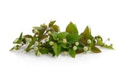 Aztec Sweet Herb Royalty Free Stock Image
