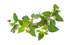 Aztec Sweet Herb Royalty Free Stock Photography