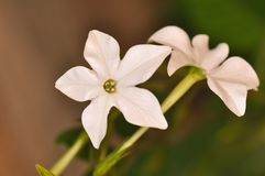Aztec tobacco flower in bloom. Top of flower stem on Aztec tobacco plant also known as nicotiana alata or night blooming jasmine Royalty Free Stock Photo