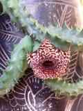 Azteca de cactus Photo libre de droits