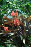 Aztecs 'gåva av gudarna - röd blomma bromelia för korall i botanisk trädgård arkivfoto