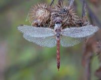 Azucare la libélula Foto de archivo libre de regalías