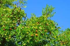 Azufaifa Foto de archivo libre de regalías