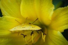 Azufre despejado Phoebis Sennae Foto de archivo