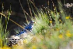 Azulão-americano da montanha (currucoides do Sialia) fotografia de stock