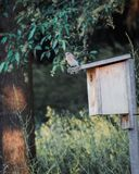 Azulão-americano oriental fêmea que senta-se sobre seu aviário imagem de stock royalty free