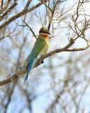 Azul - Abeja-comedor atado, philippinus del Merops, Sri Lanka Foto de archivo
