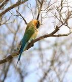 Azul - Abeja-comedor atado, philippinus del Merops, Sri Lanka Foto de archivo libre de regalías