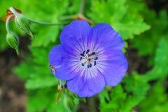 Azul alaranjado Hardy Geranium Green Leaves da abelha imagem de stock