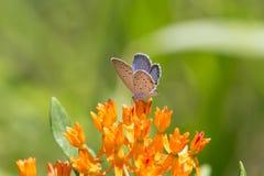 Azul atado del este en mala hierba de mariposa foto de archivo libre de regalías