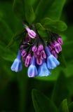 Azul Belces de Virginia Imágenes de archivo libres de regalías