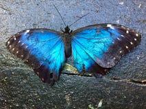 Azul bleu de mariposa de motyl de niebieski de papillon de Morphio photographie stock