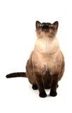 Gato dos olhos azuis Imagens de Stock Royalty Free
