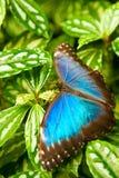 Azul butteryfly Fotos de archivo